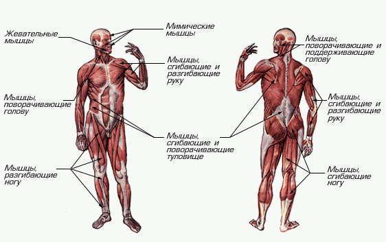 Кровь Реферат По Анатомии